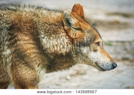 Close up Portrait of the Grey Wolf