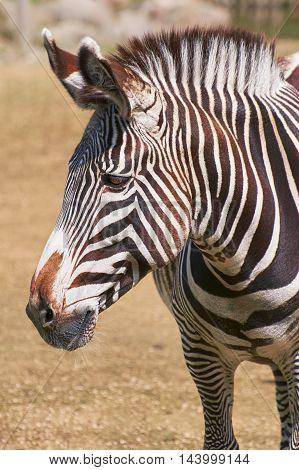 Close up Portrait of Zebra (Equus Quagga)