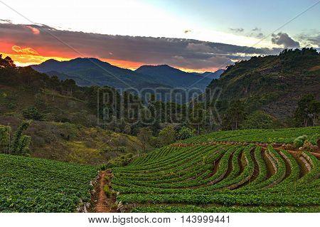 Dawn Of Strawberry Field At Doi Ang Khang - Chiang Mai, Thailand