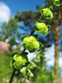 foto of pubescent  - Ripening seeds lungwort  - JPG