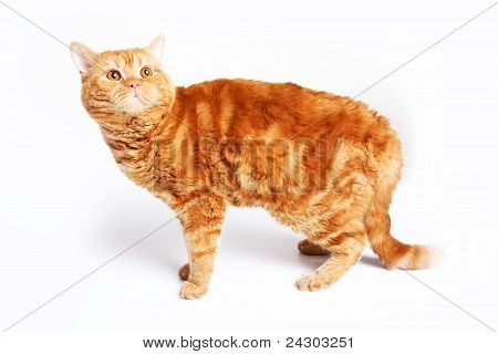 Red Cat Breed Selkirk Rex