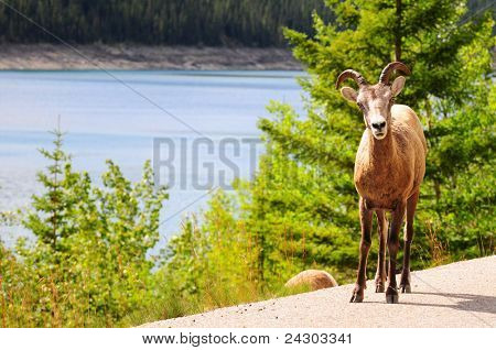 Big horn sheep on the road near Medicine lake in Jasper, Canada