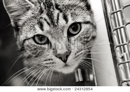 Tabby cat looking out from his pen