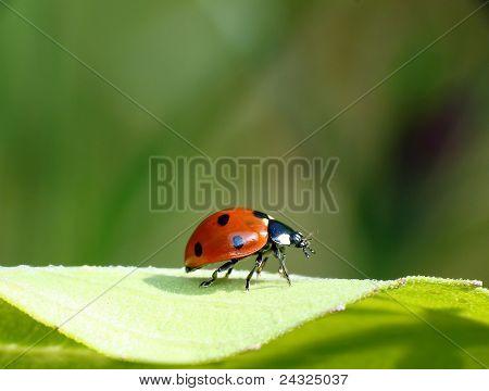 Ladybug on a green