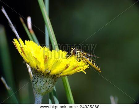 Abeja sobre una flor de ellow