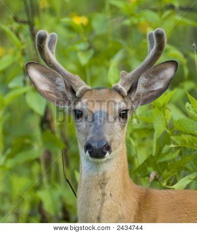 Buck Whitetail Deer (Odocoileus Virginianus)