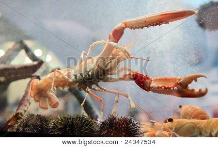 Langoustine In Aquarium