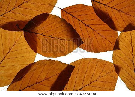 Yellow Beech Leaves Texture