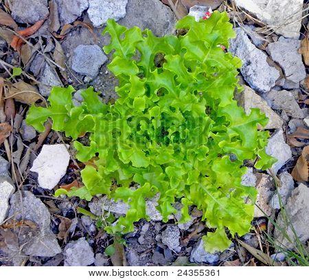Perpetual Lettuce growing in rubble