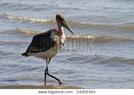 Marabou Stork At Lake Victoria