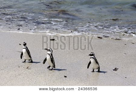 3 Penguins walking along the beach out of the water