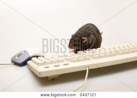 Computer Rat