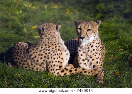 Coouple Of Cheetahs