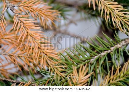 Brown Pine Needles