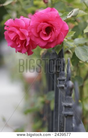 Roses On A Vintage Fence