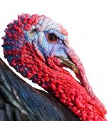 stock photo of turkey-cock  - Portrait of a turkey a over white background - JPG