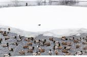 Ducks And Drakes Swimming In Lake In Urban Timiryazevskiy Park In Moscow City In Winter Snowfall poster