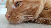 Cute Red Cat Face In Pensive Mood. Long Cat Whiskers And Red Cat Eye Closeup. Striped Red Cat Portra poster