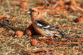 image of crossbill  - White - JPG