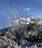 stock photo of ocotillo  - A snowy desert landscape featuring a desert Ocotillo tree - JPG