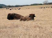 Two Buffalos Lying