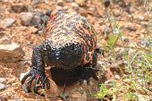 picture of gila monster  - A healthy gila monster from the Sonora desert - JPG