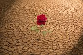 picture of heatwave  - Red Rose growing in dry cracked soil - JPG