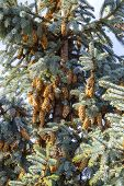 Blue Spruce Tree Close-up. Christmas Tree. Pine Tree Or Fir Tree With Cones, Close Up In Carpathian  poster