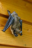 stock photo of vampire bat  - A sleeping bat is hanging on a plank wall - JPG