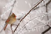 stock photo of cardinal-bird  - A common winter scene in the midwest is the female cardinal perched near a feeder - JPG