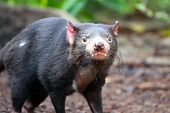 picture of taz  - Tasmanian Devil making eye contact  - JPG