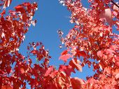 Background Of Sky And Red Leaves poster