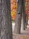 Thick Tree Trunks In A Row