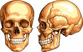 image of mandible  - Vector medical realistic illustration of Human Skull - JPG