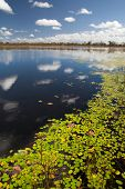 wetlands billabong Australian swamp lake with floating leaves and blue sky reflected in the water
