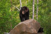Adult Female Black Bear (ursus Americanus) On Rock With Cub - Captive Animals poster