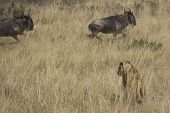 stock photo of mayhem  - Lioness hunting Wildebeest in the Masai Mara - JPG