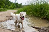 Portrait Of Funny Wet Golden Retriever Dog With Dirty Paws Standing In A Muddy Puddle poster