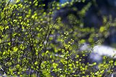 Green Bush Close-up. Young Leaves On A Green Bush. Spring Flowering. The Concept Of Beauty And Flowe poster