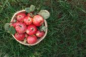 Wicker Basket Full Of Red And Yellow Ripe Autumn Apples On Green Grass Background, Top View. Seasona poster