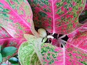 Top View Of Leaves Chinese Evergreen Or Aglaonema Modestum As A Background. Natural Pink Wallpaper,  poster