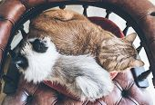 Top View Of Two Domestic Cats Side By Side Resting On Red Armchair poster