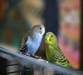 foto of budge  - My beloved budgies in front of a colorful painting - JPG