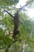 A Margay Hanging From A Cacao Tree, Panama