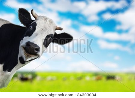 Funny cow looking to a camera with green rural meadow on the background