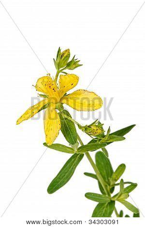 Flower Of Hypericum (latin Hypericum)