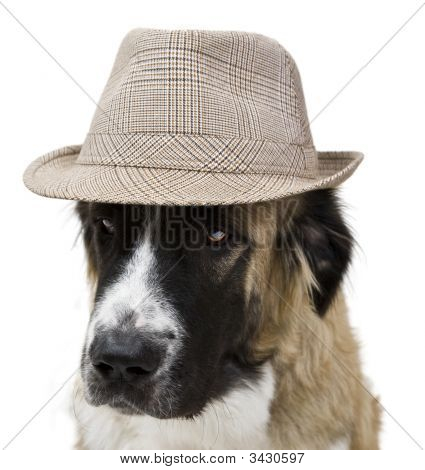 Dog Wearing Cap