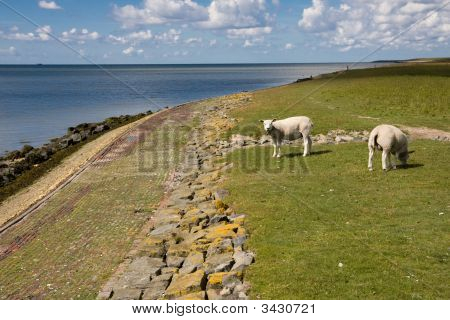 Ameland Meadow With Sheep And Sea