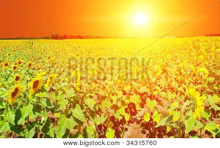 Sunset over a beautiful sunflower field in the southern Moravia, Czech Republic