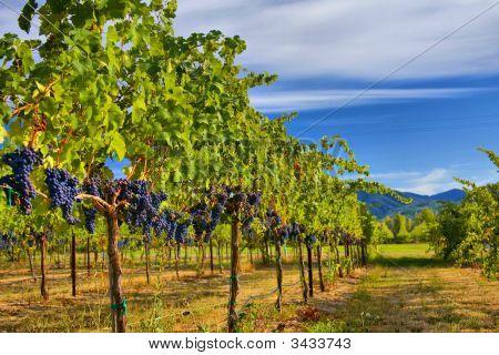 Merlot-Trauben im Weinberg Hdr